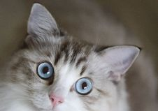 Free Cat, Whiskers, Small To Medium Sized Cats, Cat Like Mammal Stock Image - 102634601