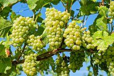 Free Grape, Grapevine Family, Seedless Fruit, Fruit Royalty Free Stock Image - 102634766