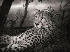 Free Cheetah, Wildlife, Terrestrial Animal, Black And White Stock Photo - 102643280