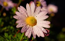 Free Flower, Flora, Oxeye Daisy, Marguerite Daisy Stock Image - 102643461