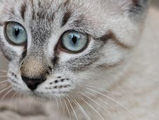 Free Cat, Whiskers, Eye, Small To Medium Sized Cats Royalty Free Stock Photography - 102643487