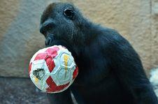 Free Great Ape, Mammal, Common Chimpanzee, Chimpanzee Royalty Free Stock Photography - 102644307