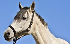 Free Horse, Halter, Horse Tack, Bridle Royalty Free Stock Photo - 102644655