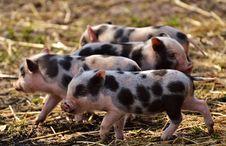 Free Pig Like Mammal, Pig, Domestic Pig, Fauna Royalty Free Stock Images - 102644949