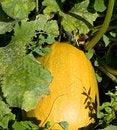 Free Pumpkin Stock Photos - 10270403