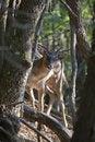 Free Peek-a-boo Fallow Deer Buck (Dama Dama) Stock Photo - 10271480