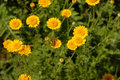 Free Meadow Yellow Flowers Royalty Free Stock Image - 10271566