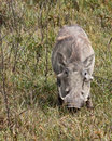 Free Warthog Stock Photo - 10276830