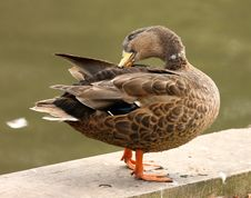 Free Mallard Duck Stock Photography - 10270422
