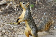 Free Squirrel Royalty Free Stock Photo - 10270675