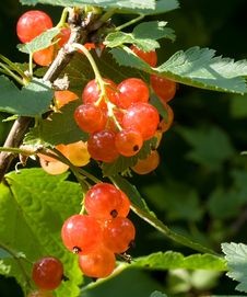 Free Red Currant Royalty Free Stock Photo - 10270775