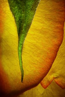 Free Yellow Red Rose Stock Image - 10270781