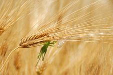 Free Grasshoppers On Wheat Ears Royalty Free Stock Photo - 10271395