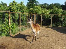 Free Lama Royalty Free Stock Image - 10271396