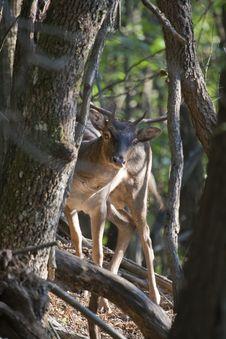 Peek-a-boo Fallow Deer Buck (Dama Dama) Stock Photo