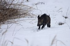 Free Young Boar (Sus Scrofa) Running Through The Snow Stock Images - 10271514