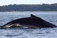 Free Giant Alaskan Humpback Whale Royalty Free Stock Image - 10272646