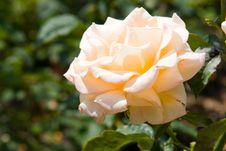 Free Pink Rose Royalty Free Stock Photo - 10275625