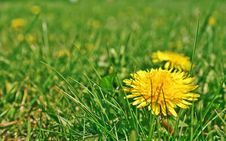 Taraxacum Royalty Free Stock Photo
