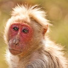 Free Backlit Bonnet Macaque Royalty Free Stock Image - 10276836