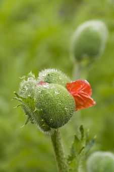 Free Opening Poppy Bud Royalty Free Stock Photography - 10277127