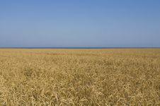 Free Wheat Field In Crimea Royalty Free Stock Image - 10277176