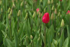 Free Budding Tulip Stock Image - 10277231