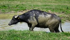 Free Buffalo In A Swamp Stock Photography - 10279222