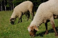 Free Two Sheep Royalty Free Stock Image - 10279636