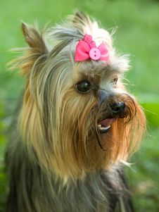 Free Sitting Yorkshire Terrier Royalty Free Stock Photo - 10279945