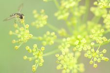 Free Dill Visitor Royalty Free Stock Images - 10279969