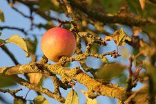 Free Fruit Tree, Fruit, Branch, Tree Royalty Free Stock Images - 102706669
