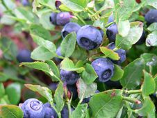Free Plant, Blueberry, Berry, Huckleberry Royalty Free Stock Photos - 102706948