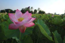 Free Flower, Lotus, Sacred Lotus, Plant Royalty Free Stock Images - 102707799