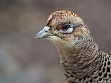 Free Beak, Galliformes, Bird, Close Up Royalty Free Stock Images - 102707879