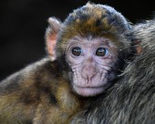Free Mammal, Macaque, Fauna, Primate Royalty Free Stock Photo - 102707905