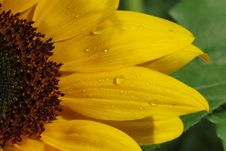 Free Flower, Sunflower, Yellow, Close Up Stock Image - 102708541