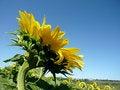 Free Sunflower  Over Blue Sky Stock Photo - 10287330
