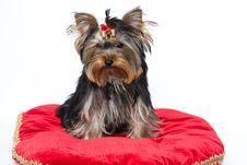 Free Sitting Yorkshire Terrier Royalty Free Stock Image - 10280166