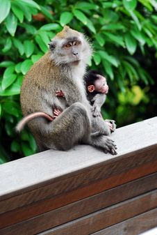 Free Baby Monkey With Mother Stock Photos - 10281593