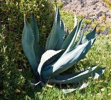 Free Large Agave Plant Royalty Free Stock Photo - 10282505