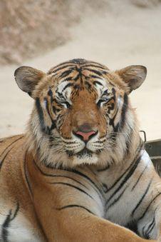 Free Sleepy Tiger Morning Stock Photo - 10283720