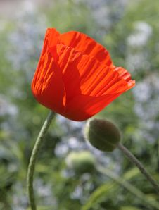 Free Tenderness Poppy Royalty Free Stock Images - 10286749