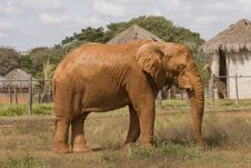 Free African Elephant Royalty Free Stock Photos - 10287388