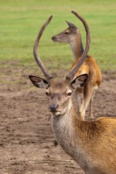 Free Deer Romance Royalty Free Stock Images - 10288549
