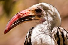 Free Red-billed Hornbill Bird Closeup Royalty Free Stock Photo - 10289035