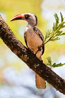 Red-billed Hornbill Bird Royalty Free Stock Photos