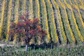 Free Pear Tree And Warm Vineyards In Autumn Royalty Free Stock Photography - 10291627
