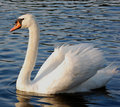 Free Mute Swan In Lake Facing Left Royalty Free Stock Image - 10294406