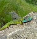 Free Green Lizard Royalty Free Stock Photo - 10295545